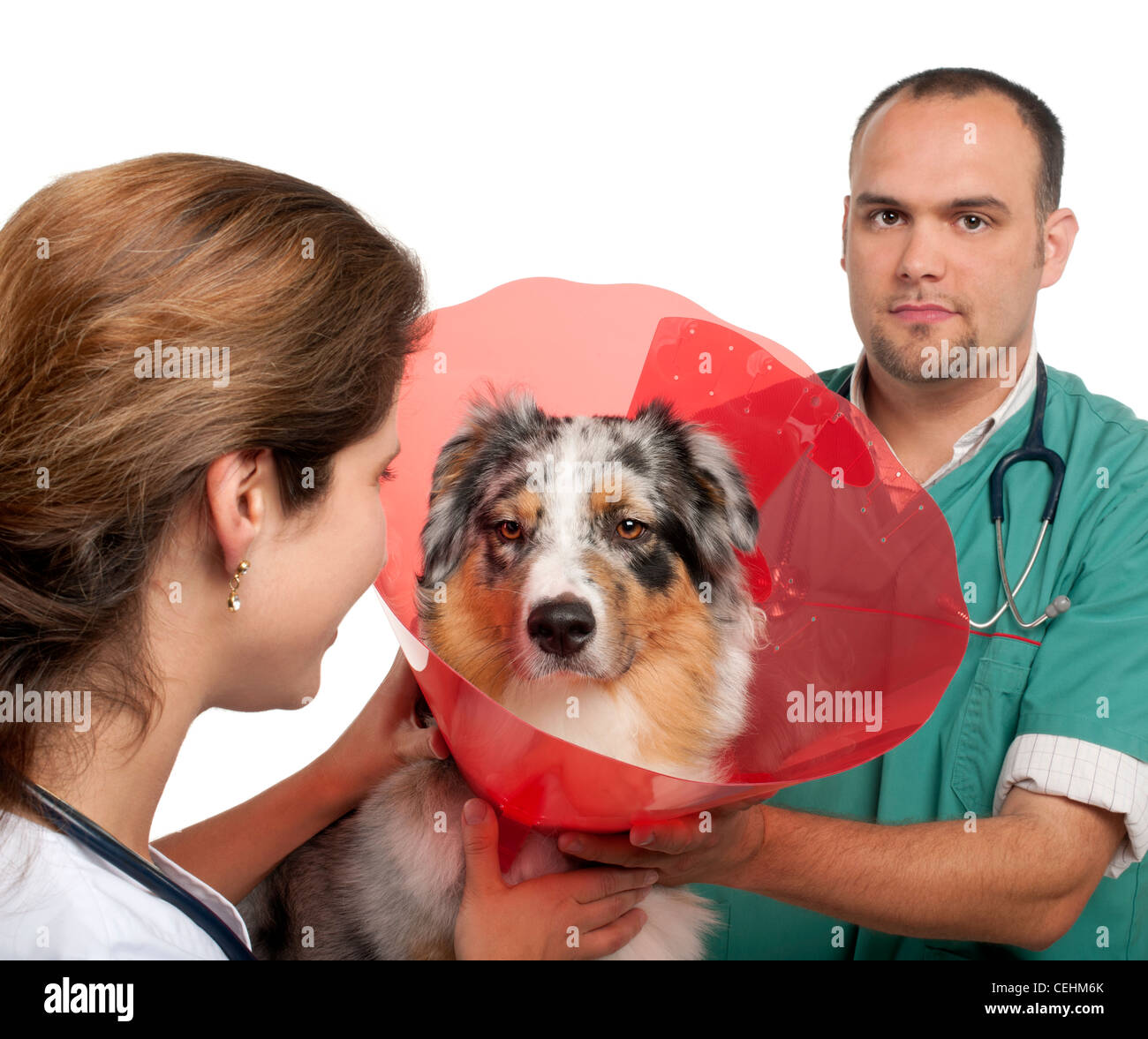 Vets putting a space collar on an Australian Shepherd in front of white background - Stock Image