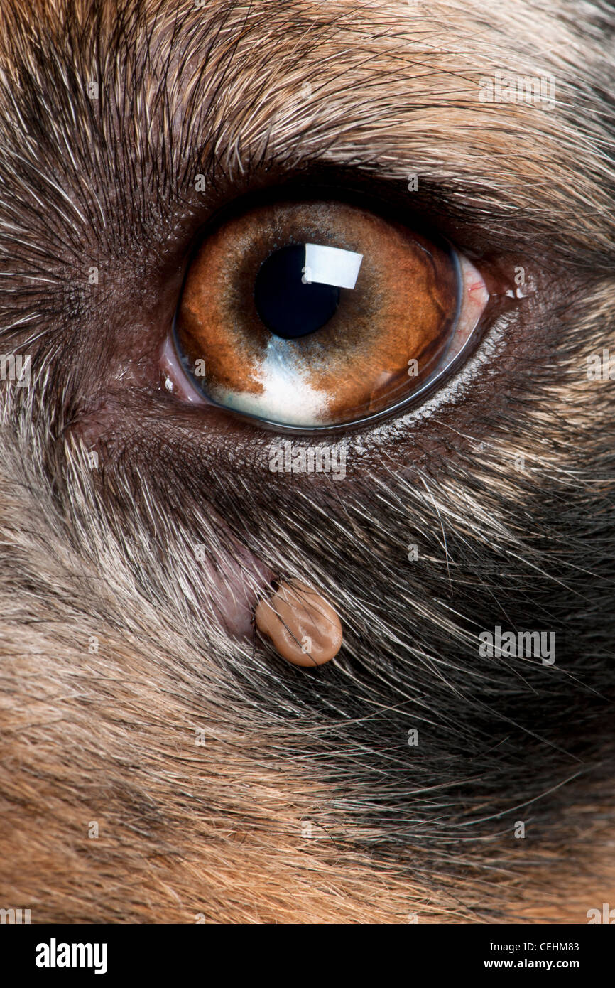 Close-up of tick attached to an Australian Shepherd's eye - Stock Image