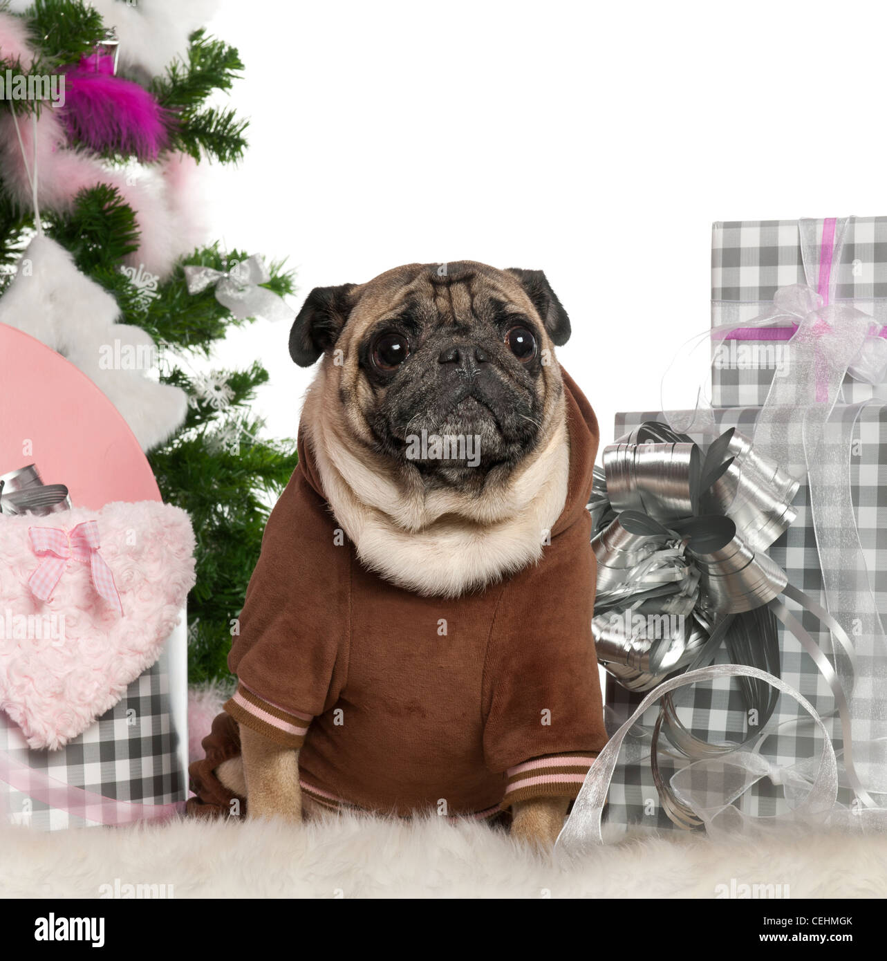 Pug, 6 years old, sitting with Christmas tree and gifts in front of white background Stock Photo