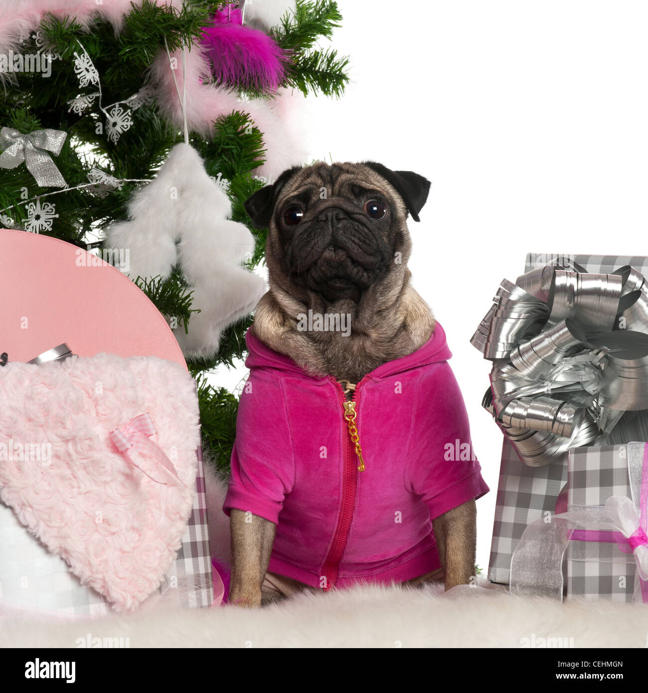 Pug, 3 years old, sitting with Christmas tree and gifts in front of white background Stock Photo
