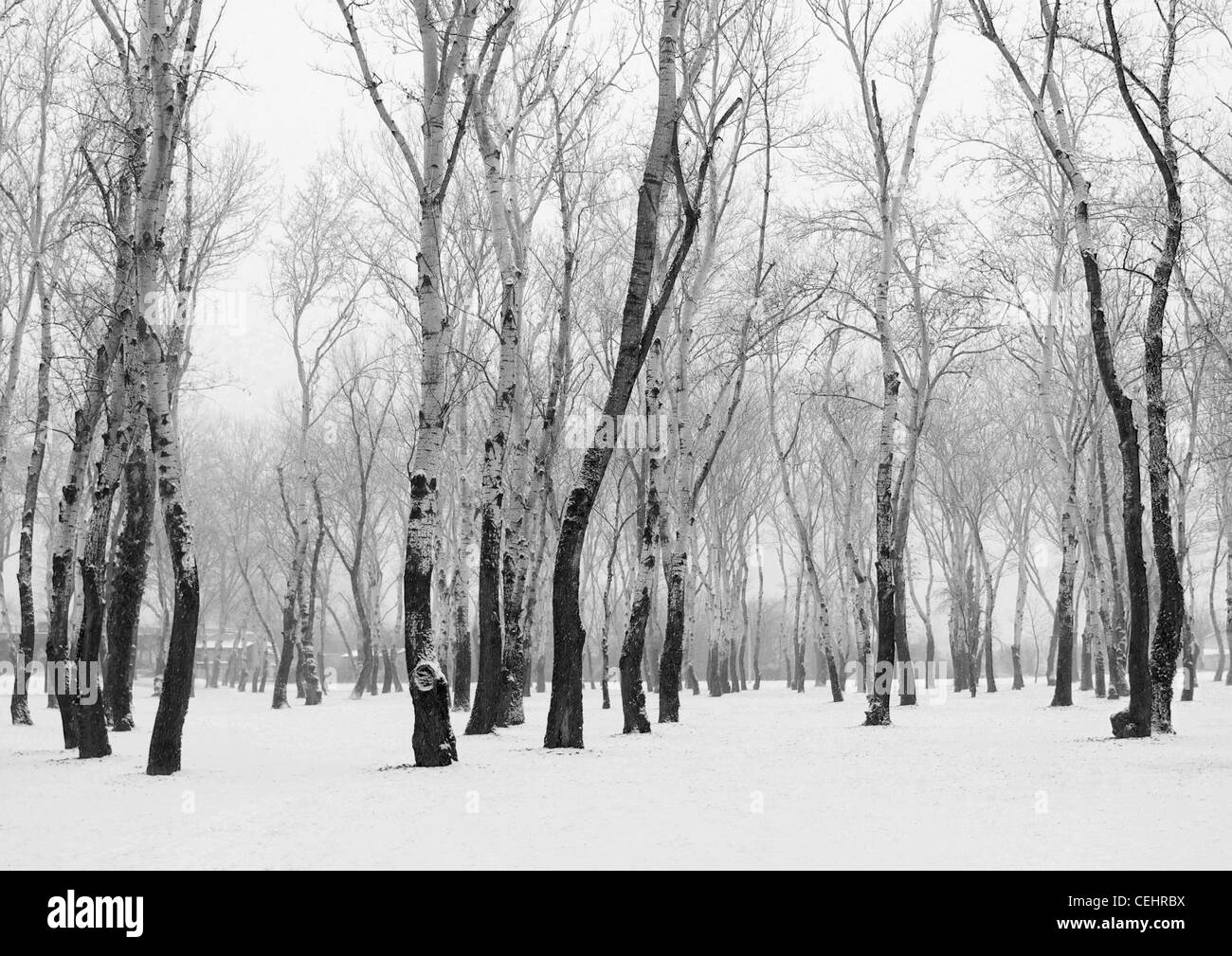 Silver Birch trees on snow-covered ground, Zagreb, Croatia - Stock Image