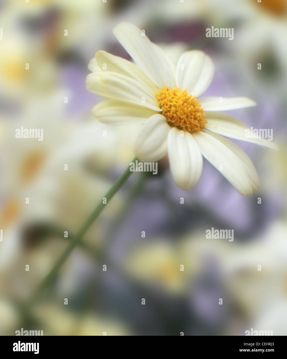 Summer English Daisy Marguerite Flower white and yellow on a blurred dreamy background - Stock Image