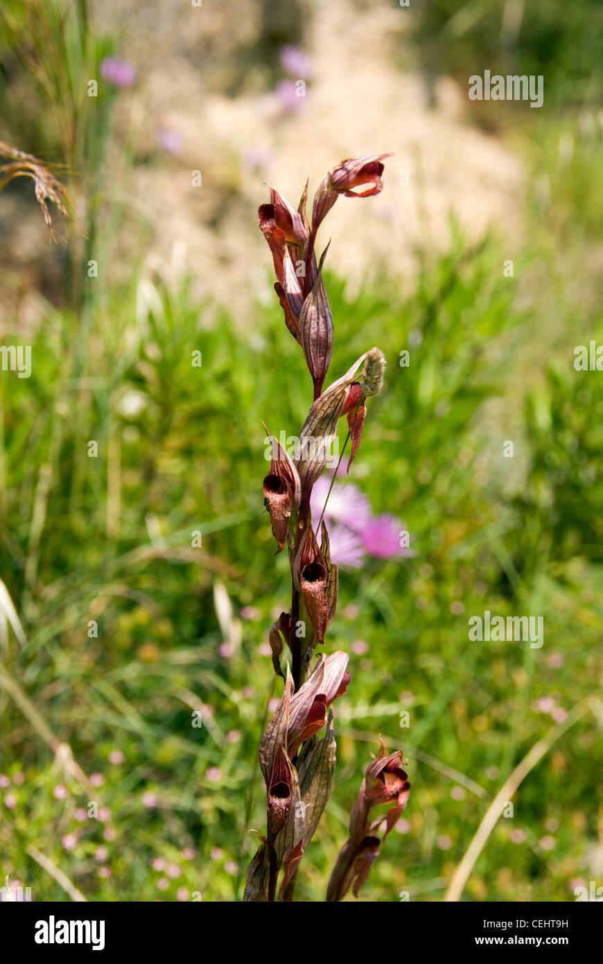 tongue orchid (serepias lingua) zakynthos/zante island ionian islands greece photographed in may - Stock Image