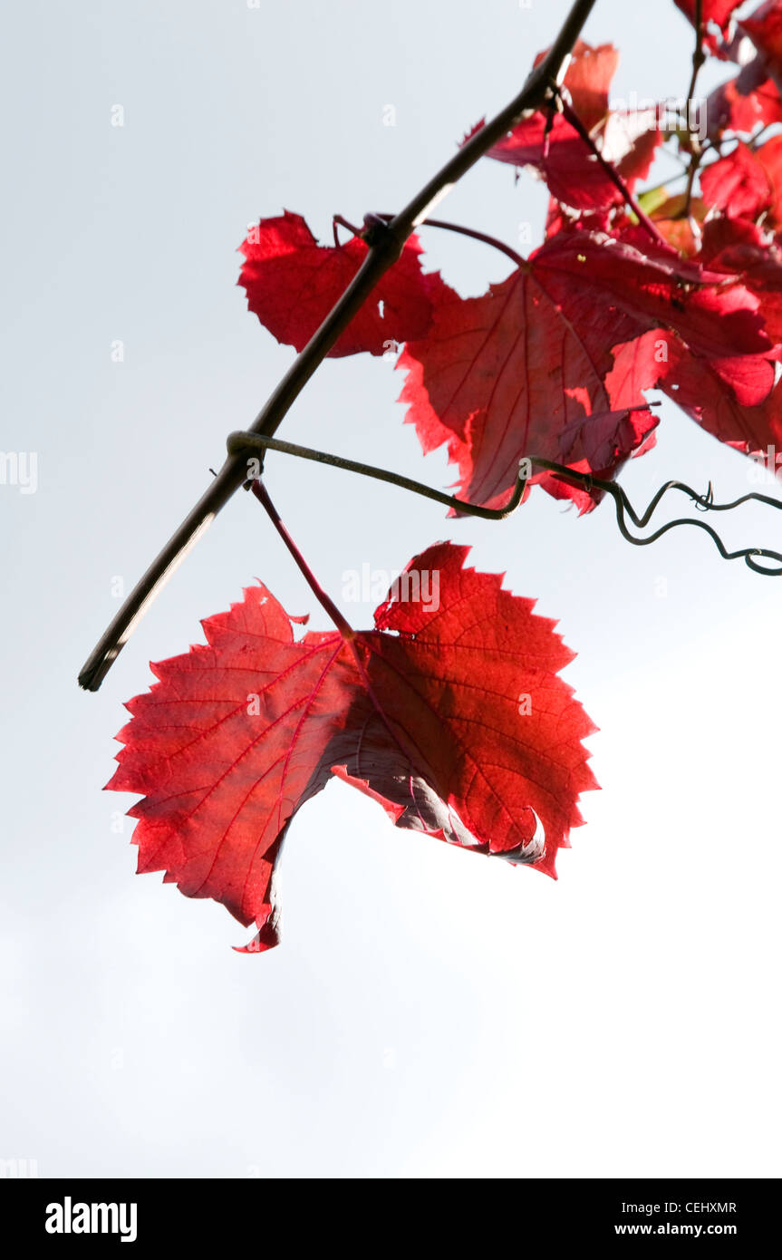 Close up of red Grape Vine leaves,Fairview Wine Estate,Paarl,Cape Wine Route,Western Cape Province Stock Photo