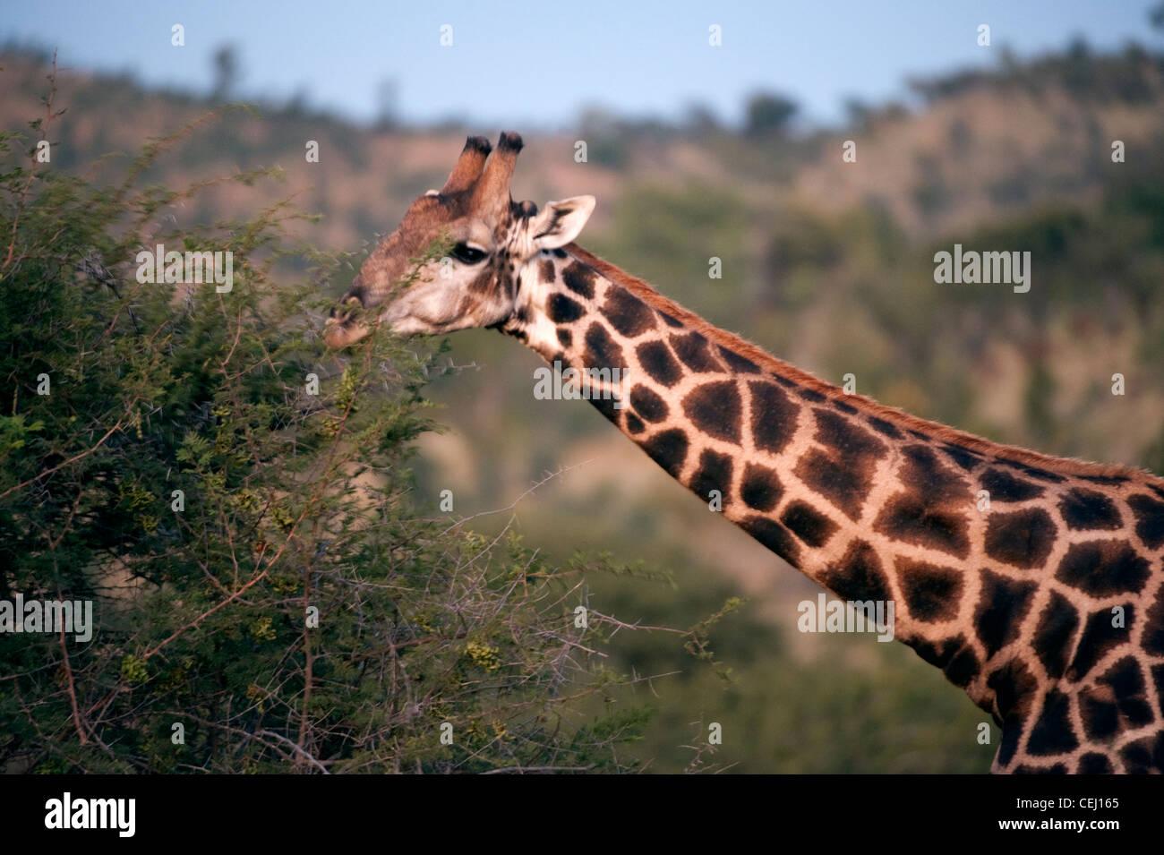 Giraffe,Bakubang Safari Lodge,Pilanesberg Game Reserve,North West Province - Stock Image