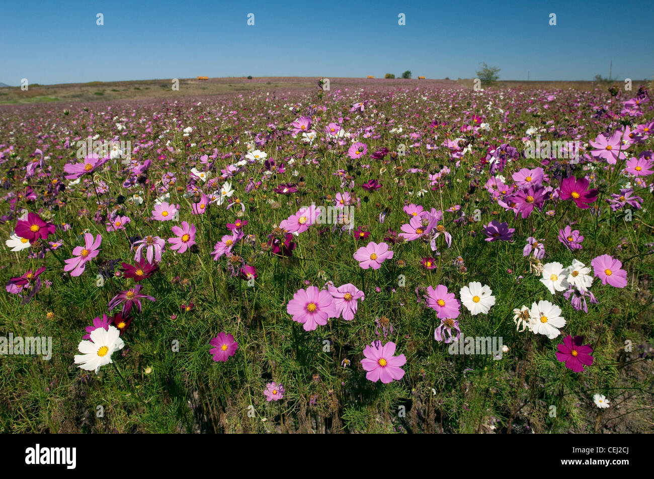Field of Cosmos. Clocolan,Eastern Free State Province - Stock Image