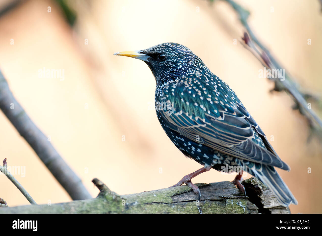 Starling Sturnus vulgaruis gregerious aggressive colourful irdescent luminous light bright shiny spotty. - Stock Image