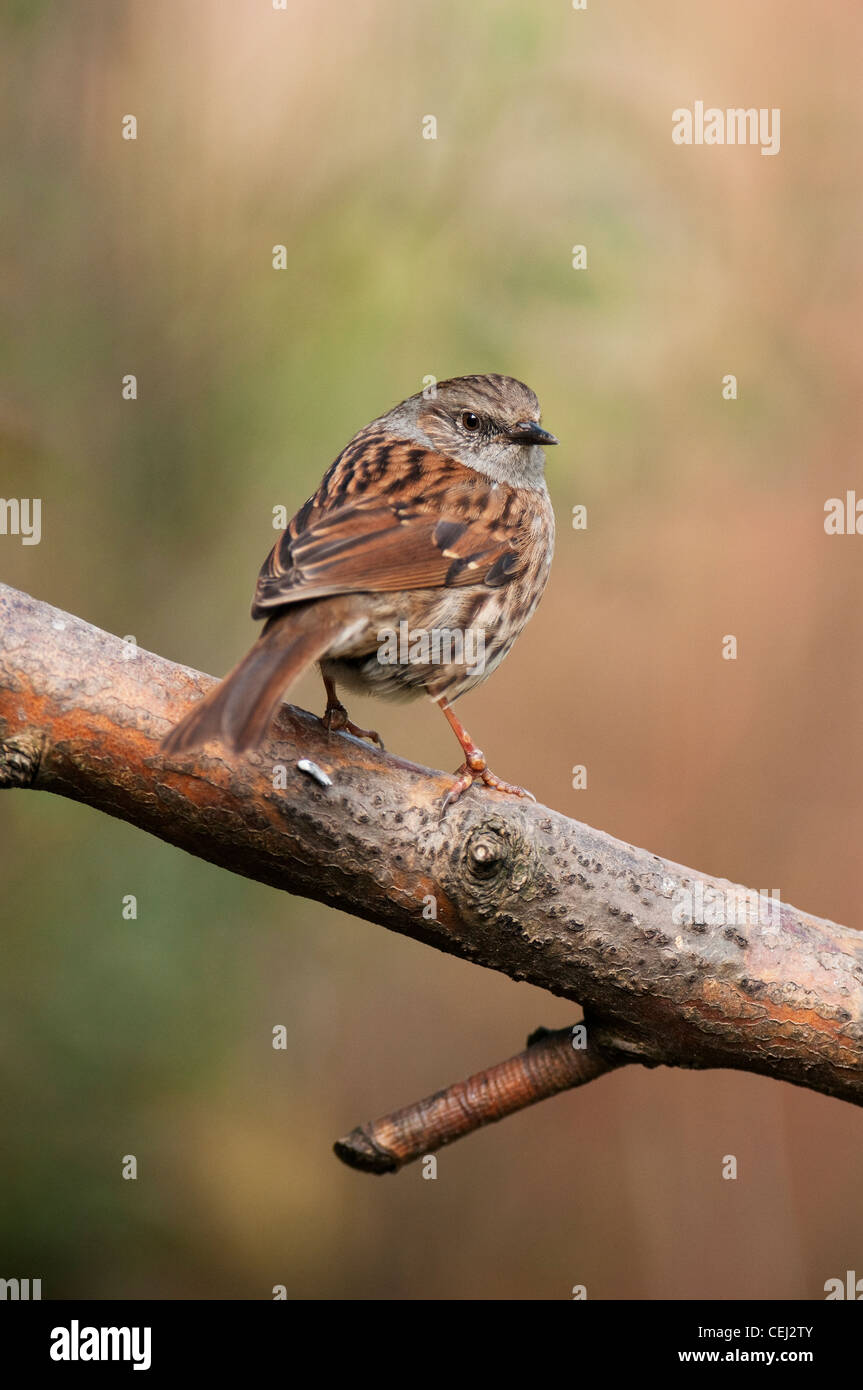 Dunnock  Prunella modularis passerines, passeriforms Grey Songbird Bird Accentor Widespread Woodland bushes - Stock Image