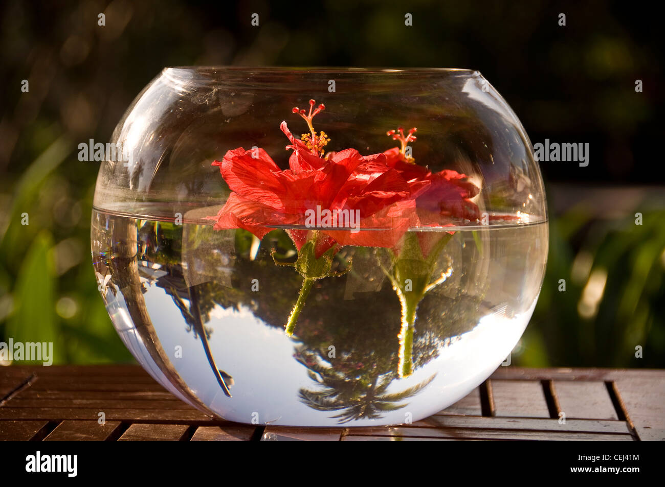 Hibiscus Flower In Vase In Stock Photos Hibiscus Flower In Vase In