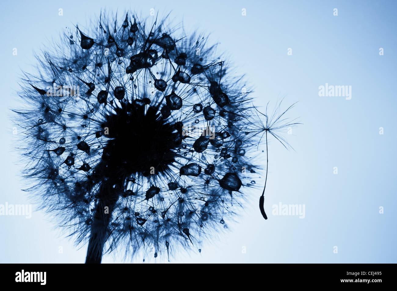 Dandelion - Stock Image