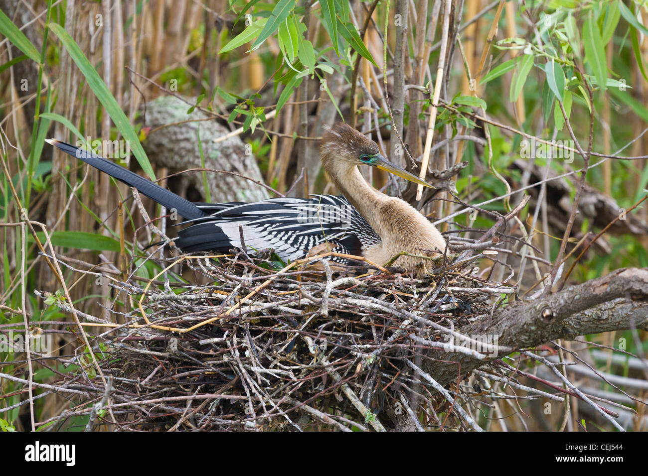 Anhinga bird on nest on the Anhiga Trail in the Royal Palm section of the Everglades National Park Florida - Stock Image