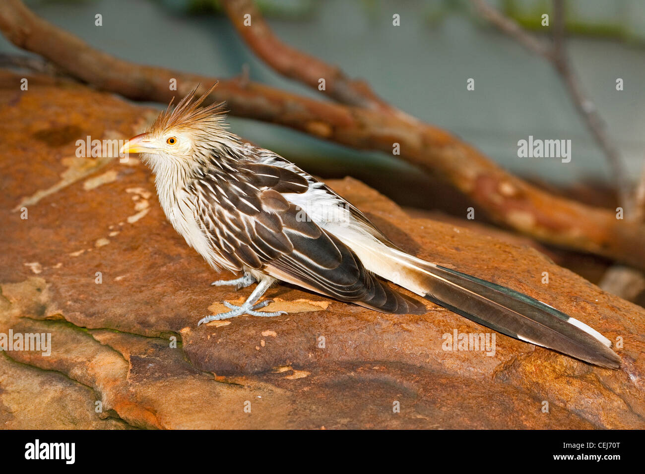 Guira Cuckoo Guira guira Ft. Worth Zoo, Texas, United States 17 September Adult Cuculidae CAPTIVE - Stock Image