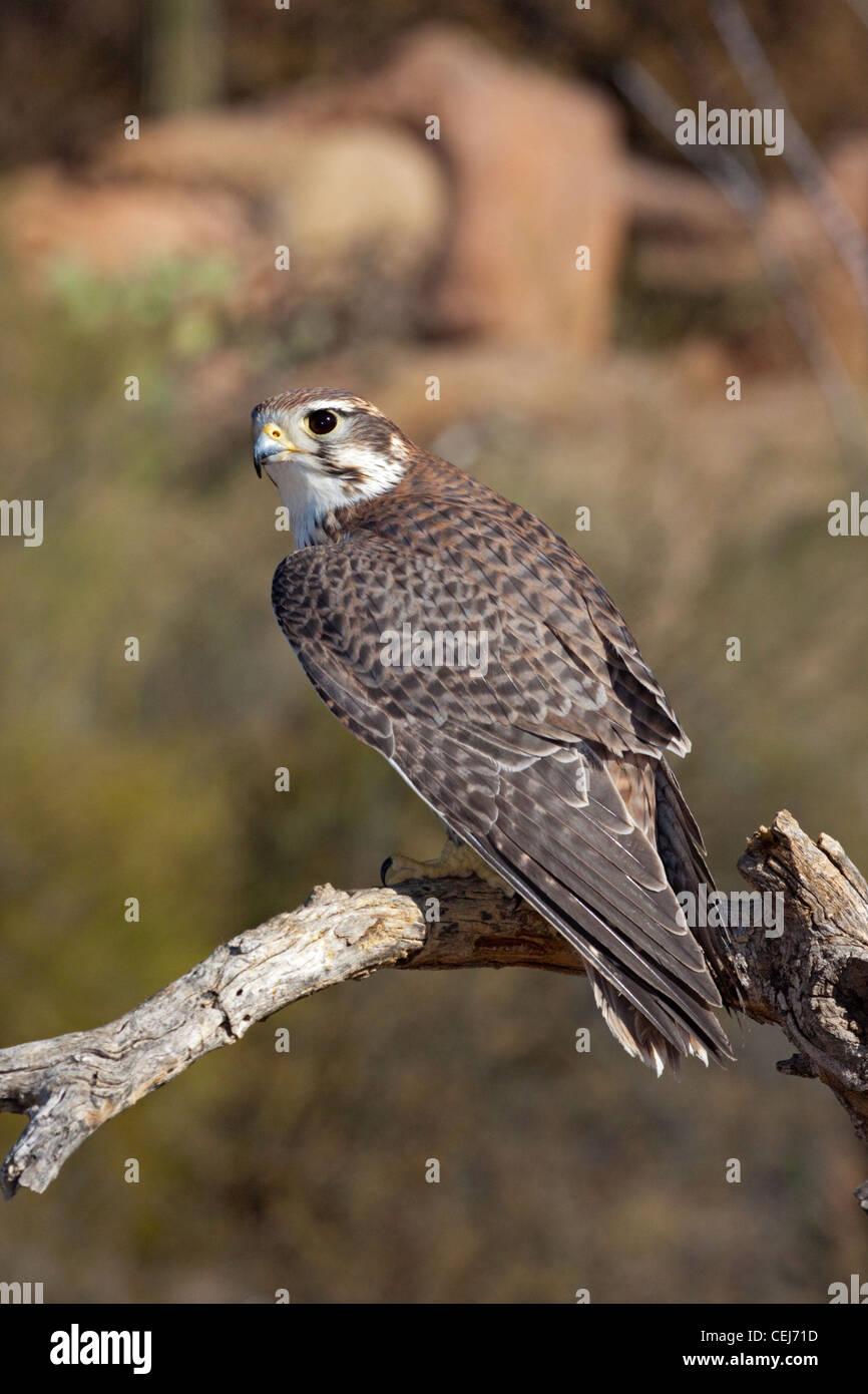 Prairie Falcon Falco mexicanus Arizona-Sonora Desert Museum, Tucson, Arizona, United States 22 January Adult Falconidae - Stock Image