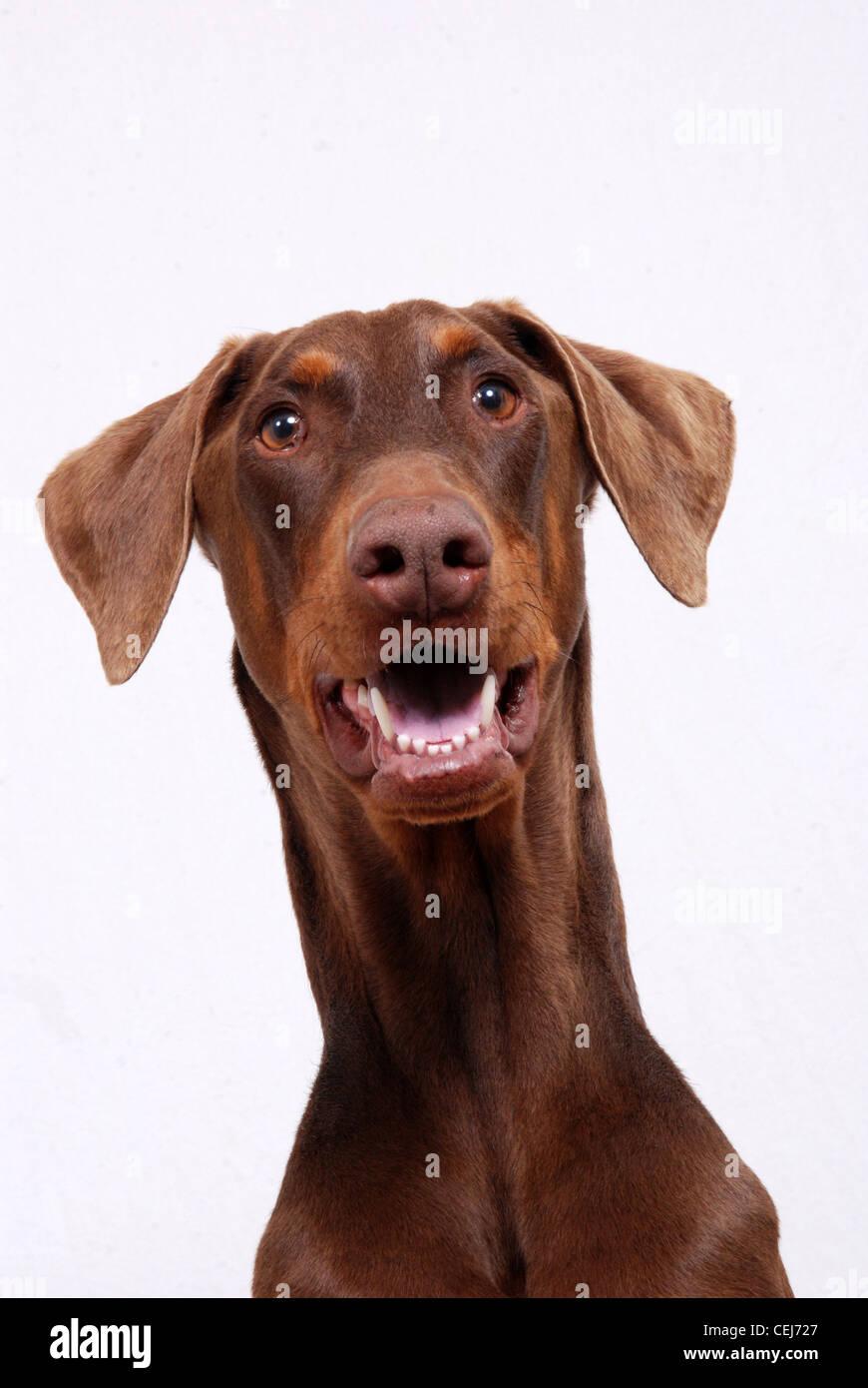 portrait of a red doberman pinscher dog stock photo 43426607 alamy