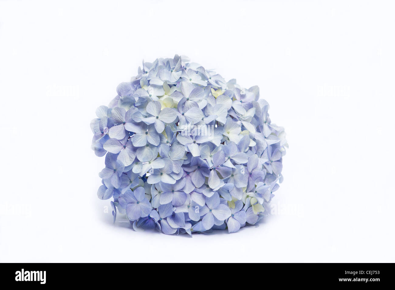 Blue hydrangeas on white background - Stock Image