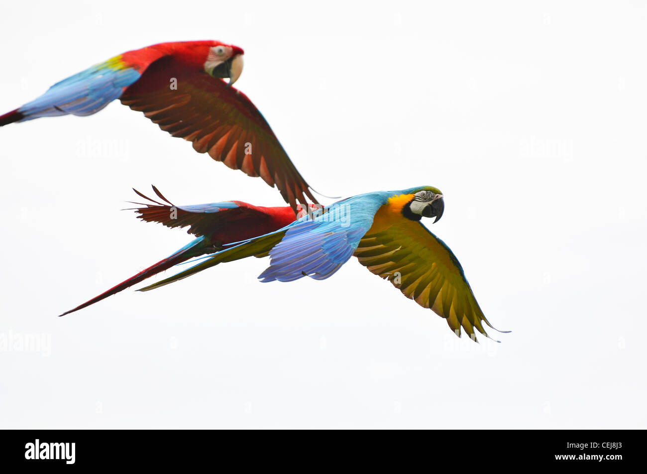Blue, red and yellow parrots flying, in flight - Stock Image