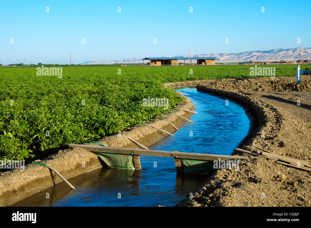 Agriculture - Irrigation canal running alongside a fresh market tomato field that is being irrigated utilizing siphon - Stock Image