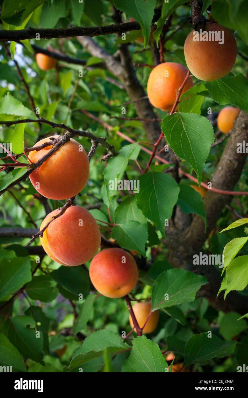 Agriculture – Mature apricots on the tree, ripe and ready to harvest, variety Poppy / near Dinuba, California, USA. - Stock Image