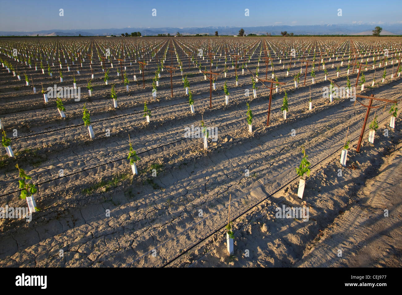 Agriculture - A young table grape vineyard utilizing an overhead trellis system, drip irrigation and planting sleeves - Stock Image