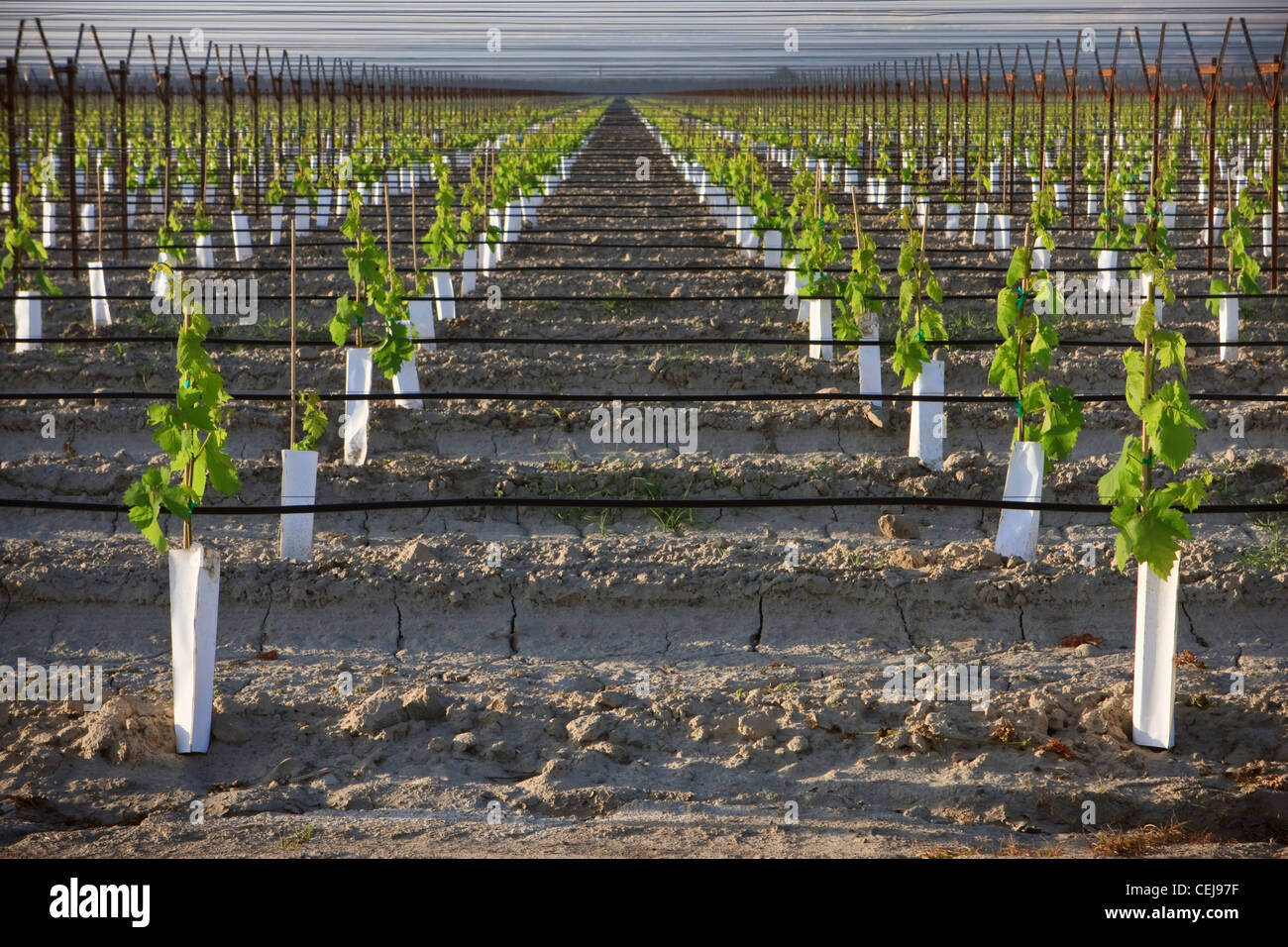 Agriculture A Young Table Grape Vineyard Utilizing An