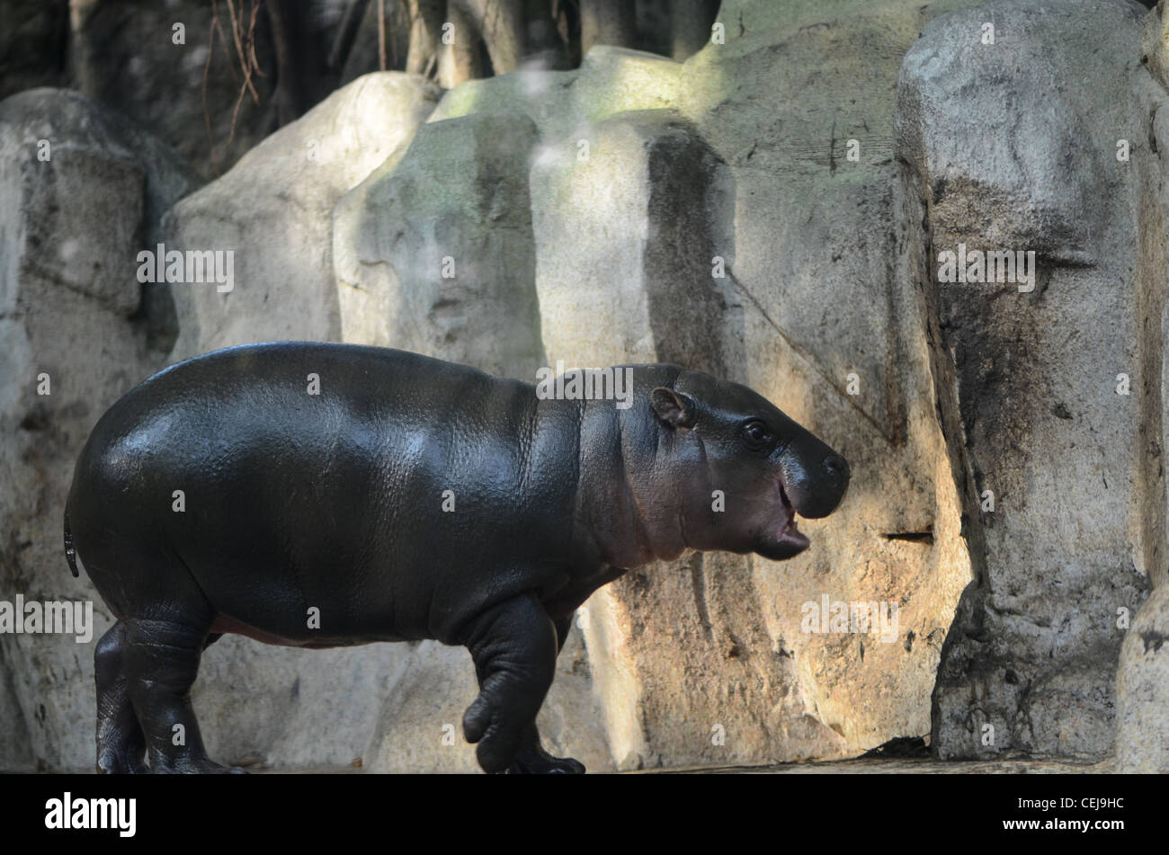 the pygmy hippo cub is angry and snarling. - Stock Image