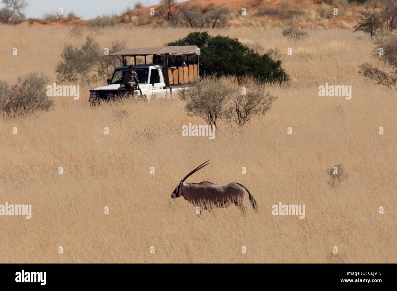 Gemsbok in grass seen during Game Drive run by Xaus Lodge,Kgalagadi Transfrontier Park,Northern Cape Stock Photo