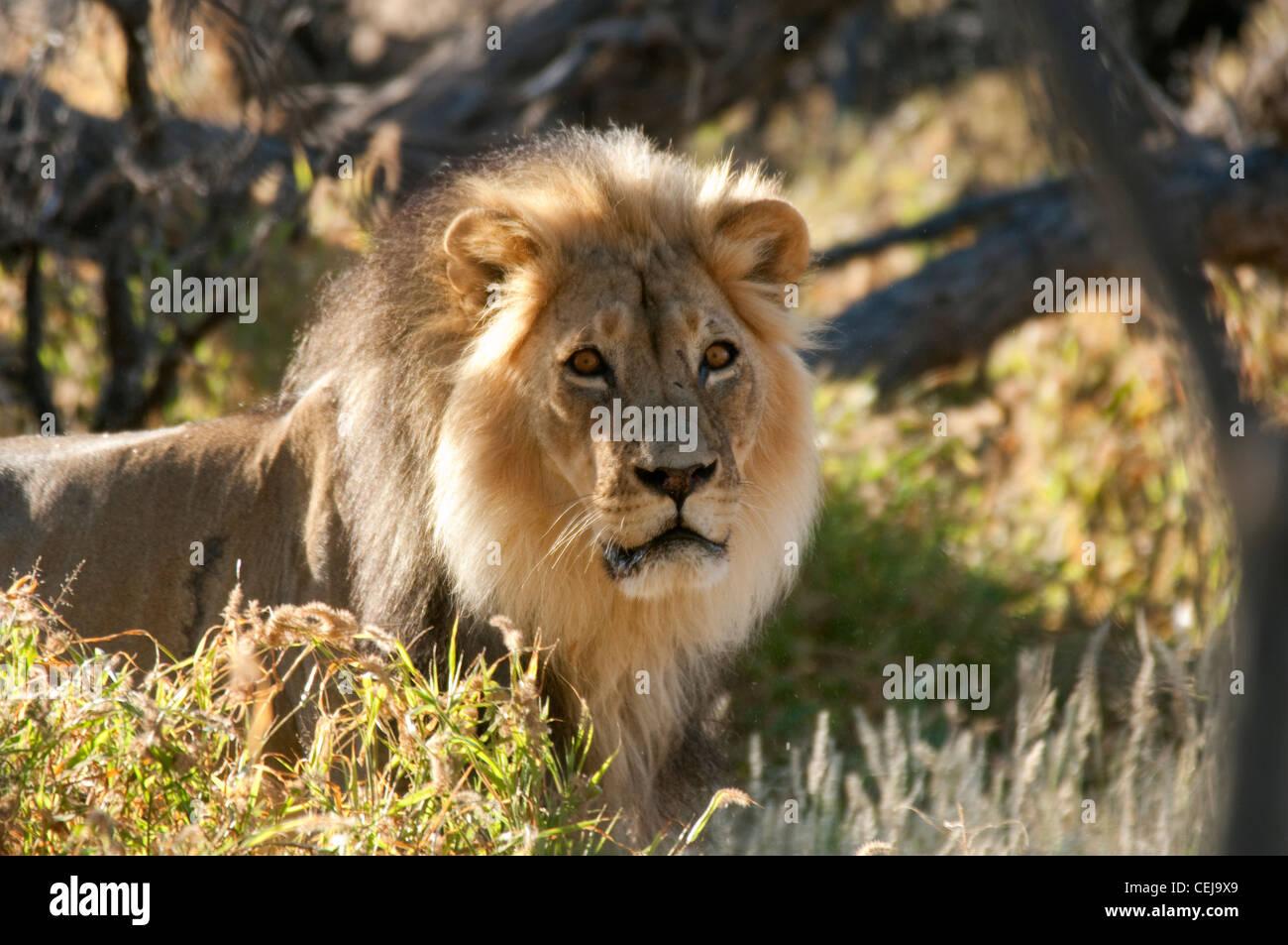 Lion near Xaus Lodge,Kgalagadi Transfrontier Park,Northern Cape - Stock Image