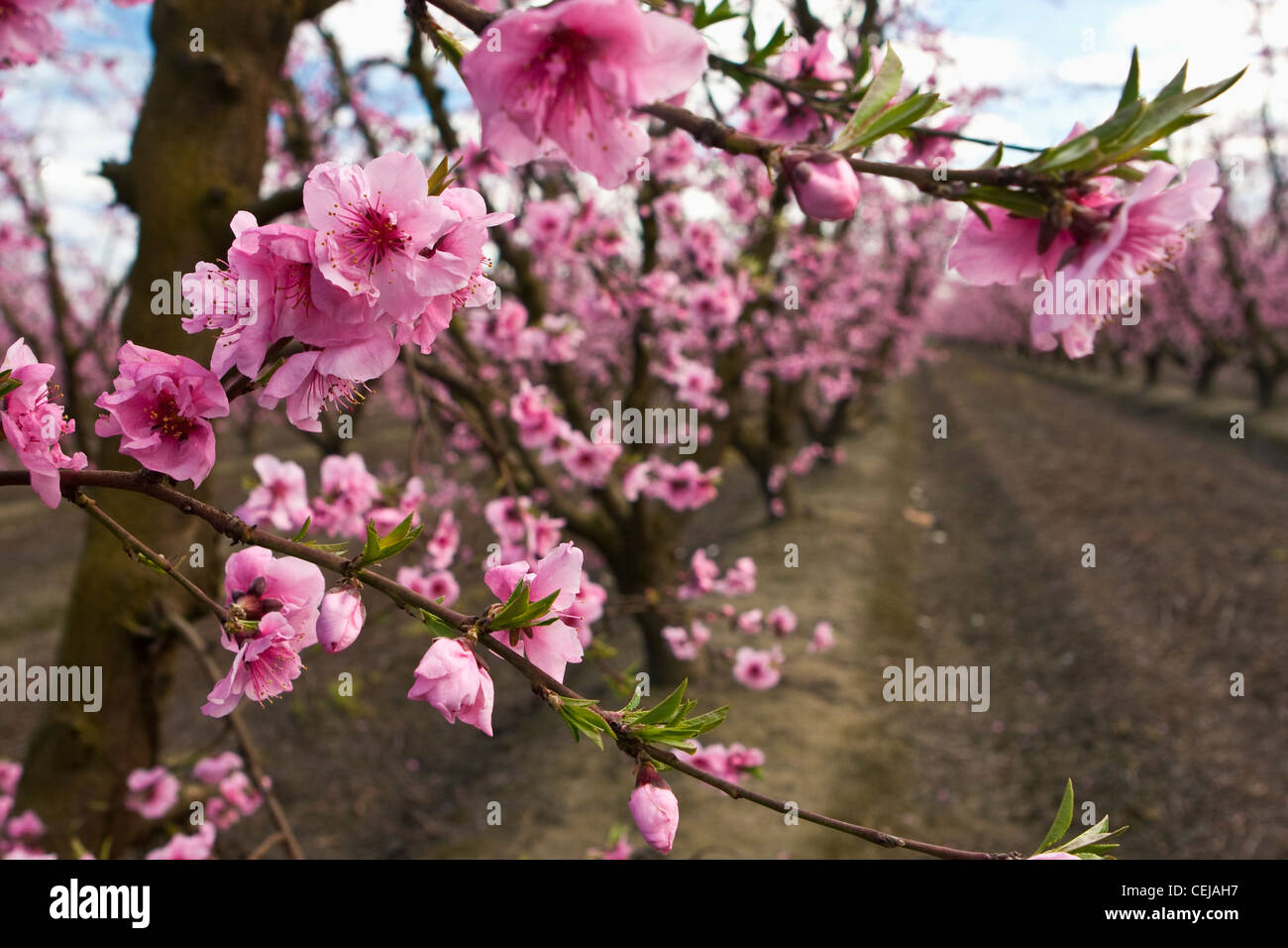 Agriculture - Closeup of peach blossoms at the full bloom stage with the orchard in the background / California, - Stock Image