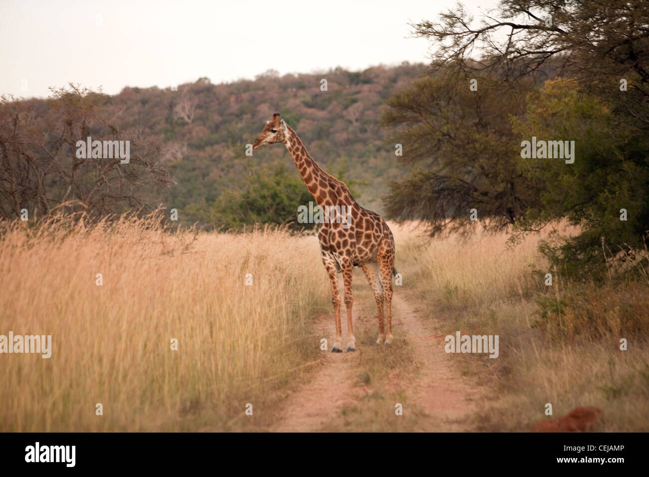Giraffe,Legends Game Reserve,Limpopo Province - Stock Image
