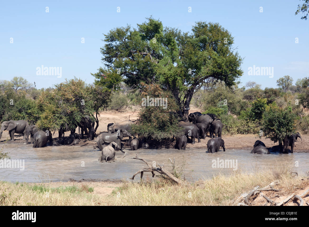 Herd of elephants at watering hole,Legends Game Reserve,Limpopo Province - Stock Image