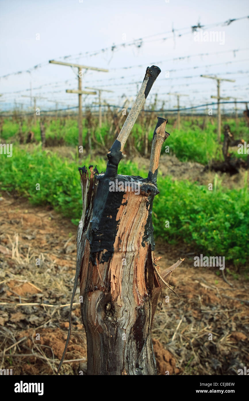 Agriculture – Grape vine grafts in Spring that have been grafted from one variety to another / near Reedley, California, Stock Photo