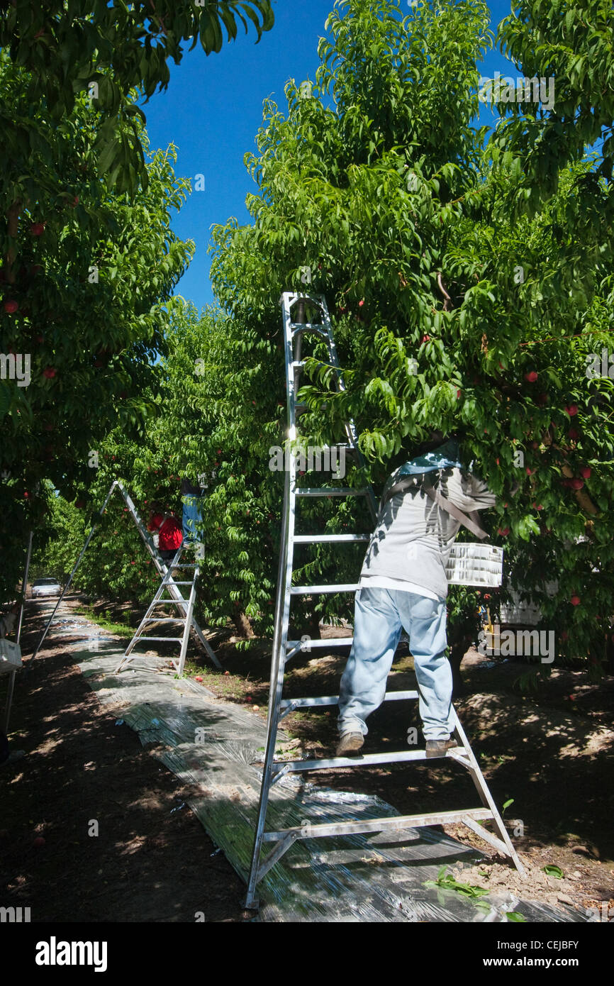 Agriculture - Field workers harvest ripe peaches in an orchard using ladders to reach the fruit / near Dinuba, California, - Stock Image