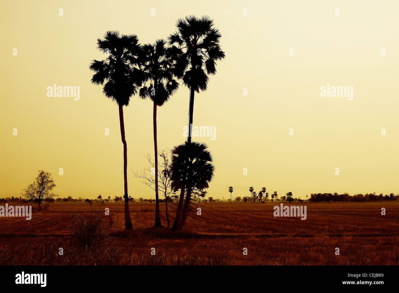 Sugar palm tree in rice field - Stock Image
