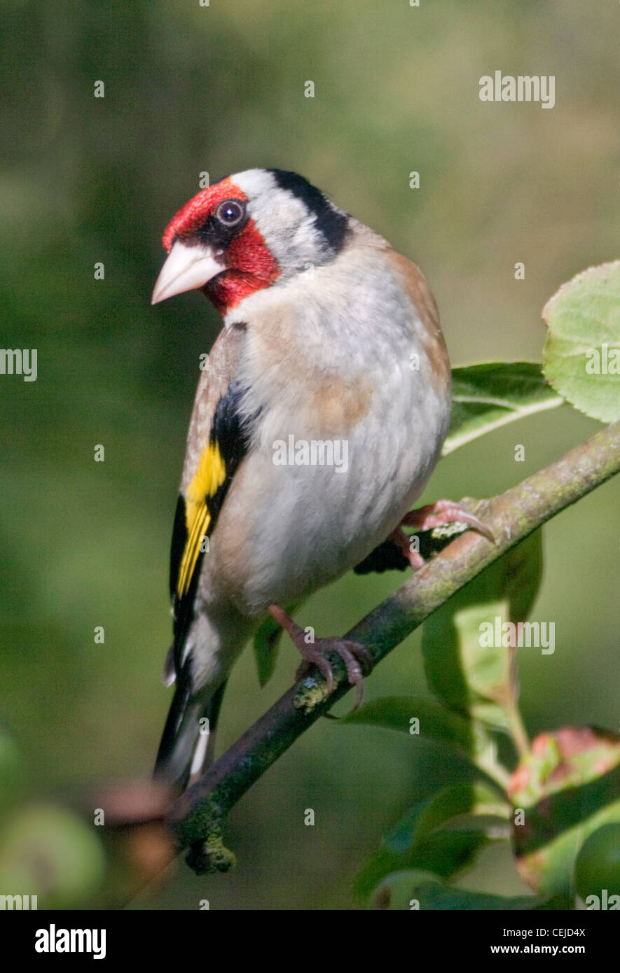 Goldfinch (carduelis carduelis) - Stock Image