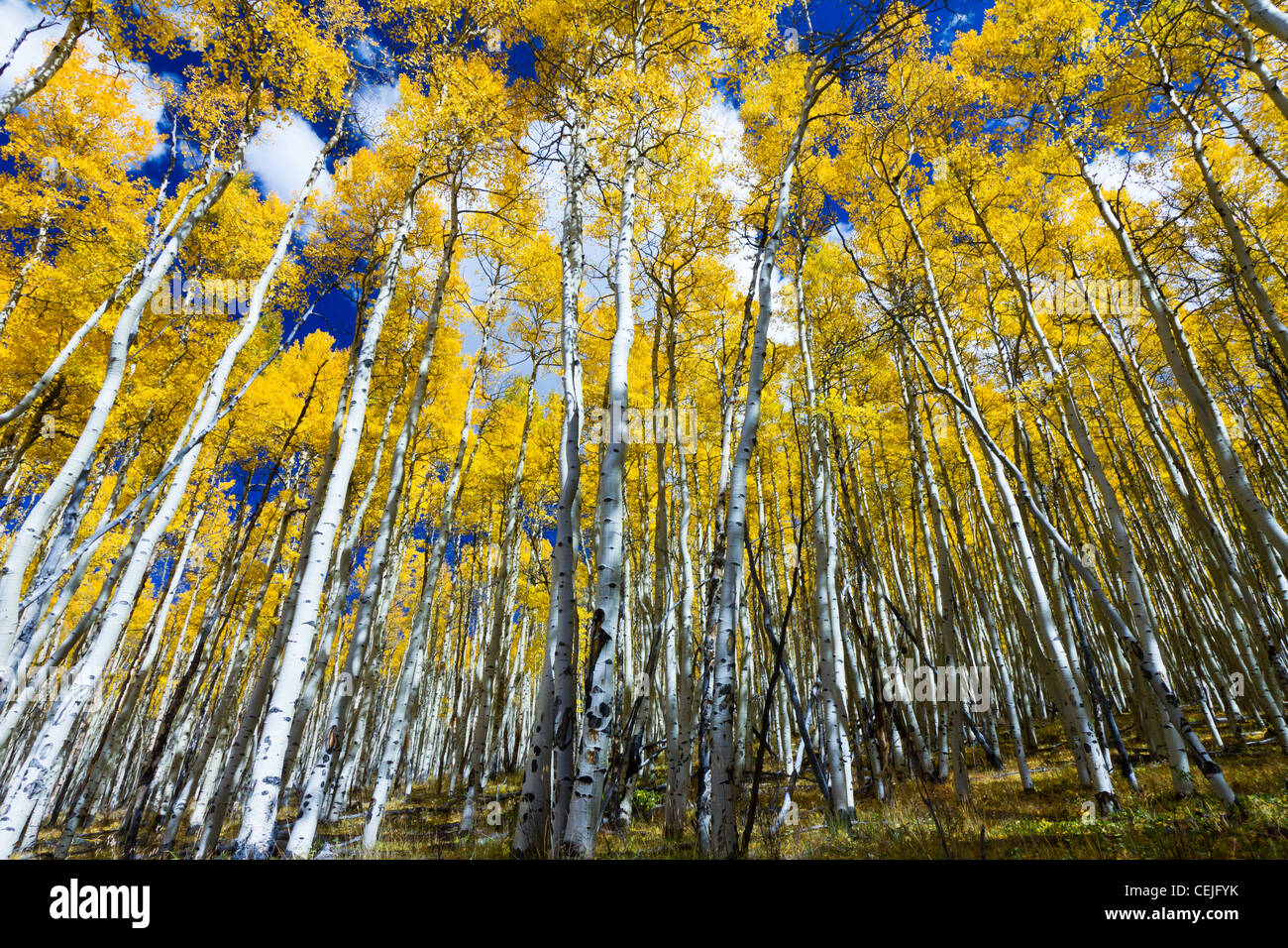 Tall yellow aspen trees contrast against the blue sky in the Colorado Rocky Mountains. - Stock Image