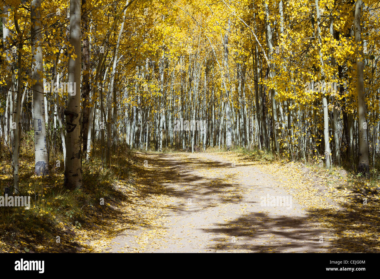 Dirt trail through a golden Aspen forest along the Continental Divide in the Colorado Rocky Mountains. - Stock Image