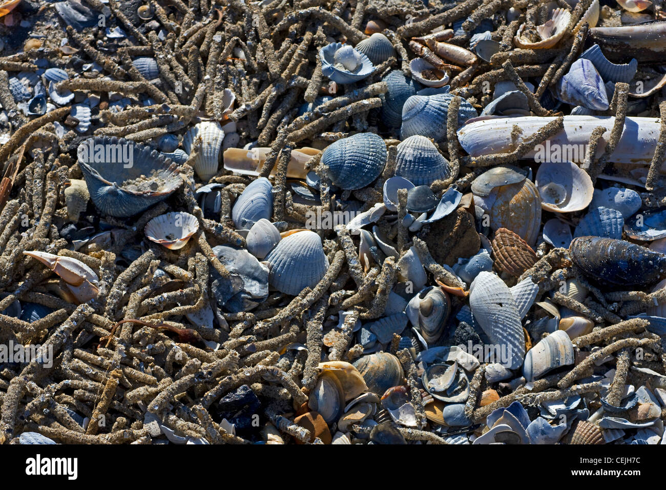 Empty cases of tube worms (Polychaeta ) amongst shells on North Sea beach, Belgium Stock Photo