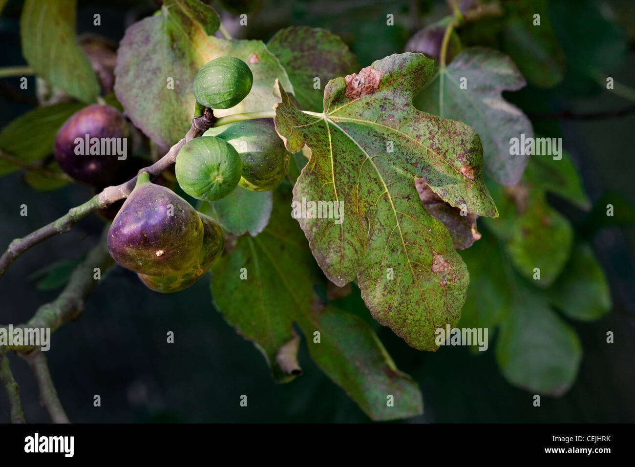 Branch with figs of Common fig tree (Ficus carica), Europe - Stock Image