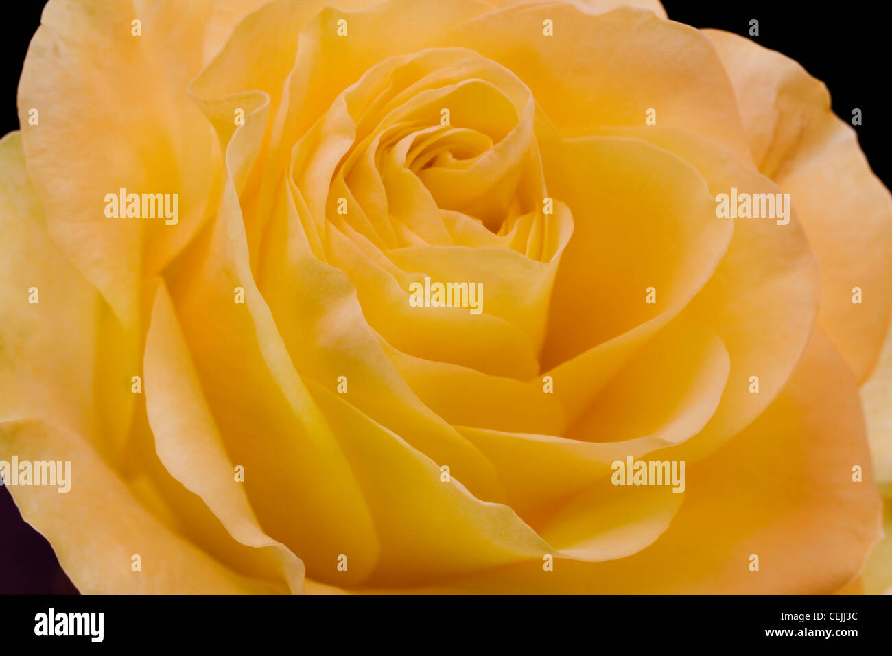 Yellow rose close-up as romantic flower - Stock Image