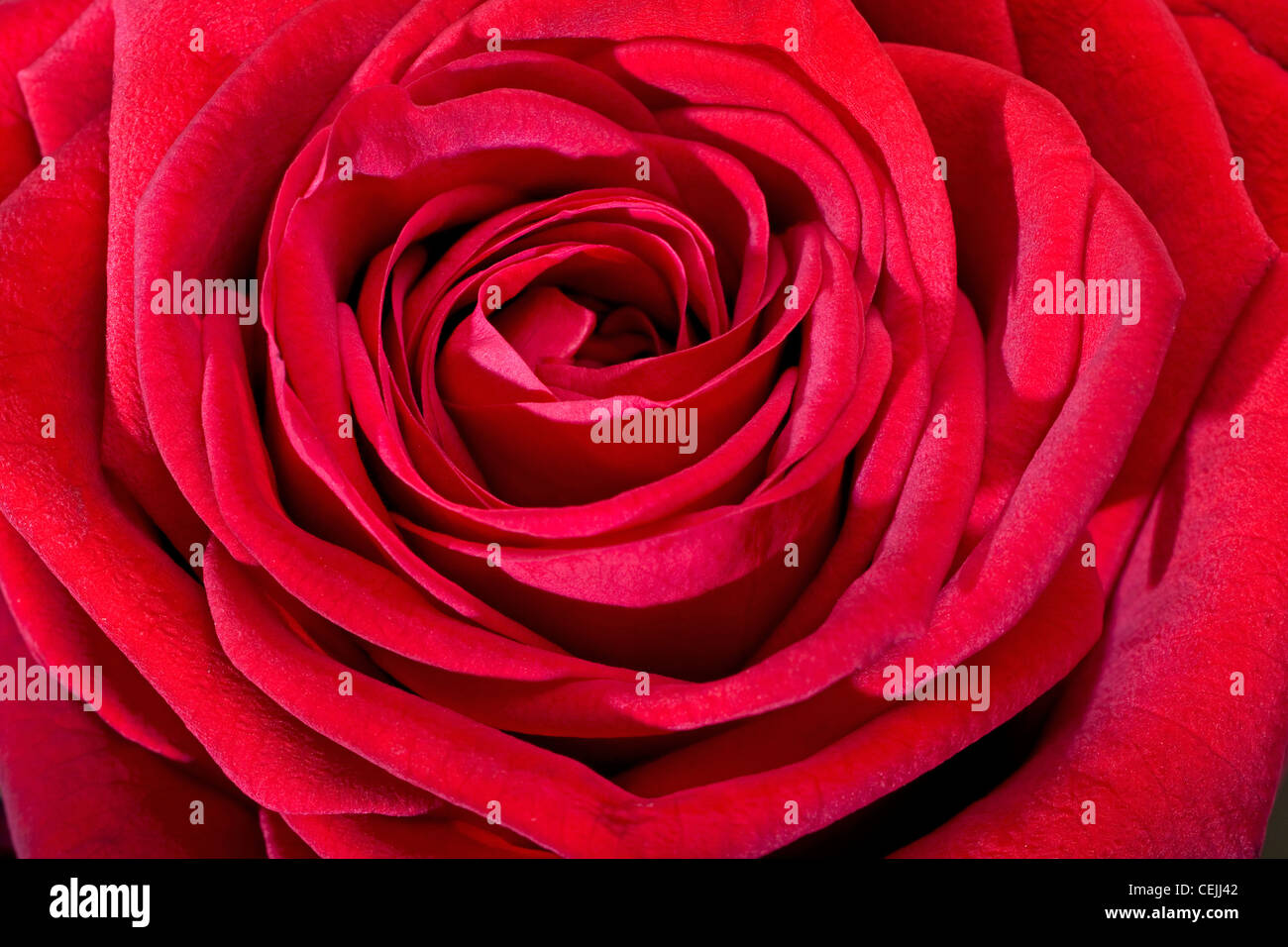 Red rose close-up as romantic flower - Stock Image