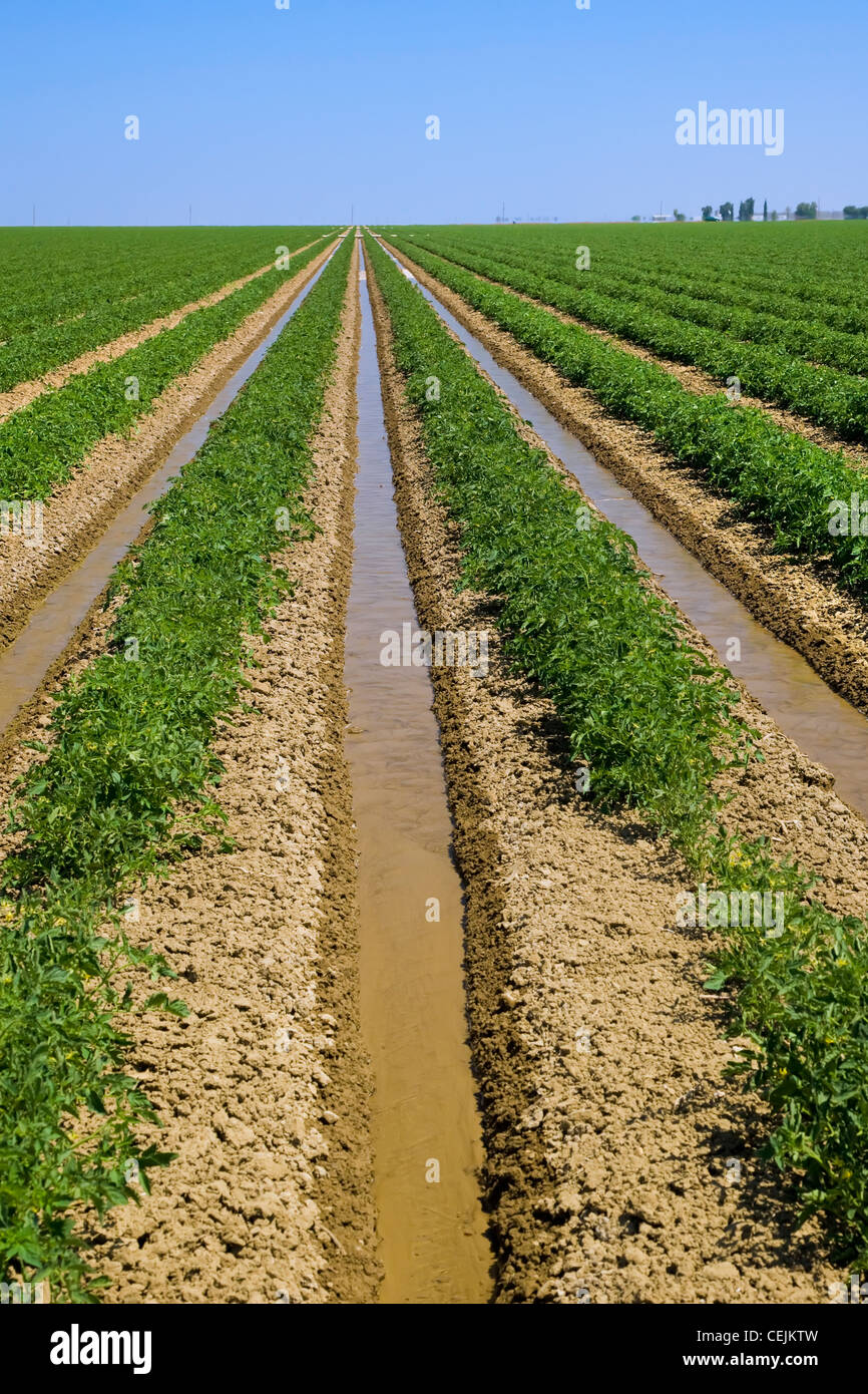 Agriculture - Field of early season processing tomatoes being furrow irrigated / near Firebaugh, California, USA. - Stock Image