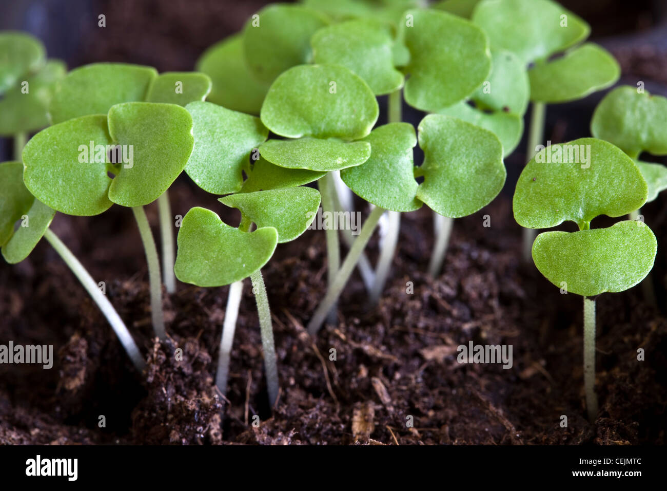 basil seedlings growing in compost after germination stock photo