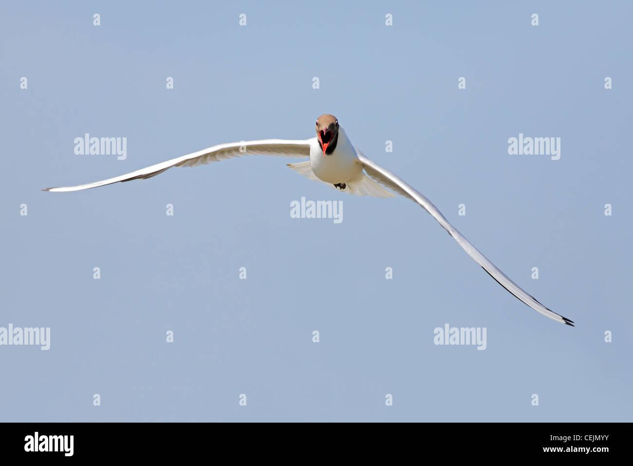 black headed gull in flight (Lat.: Larus ridibundus) - Stock Image