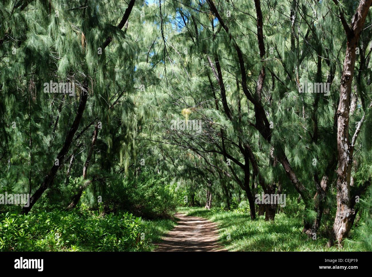 Casuarina trees at Ile aux Cerfs. Mauritius. - Stock Image