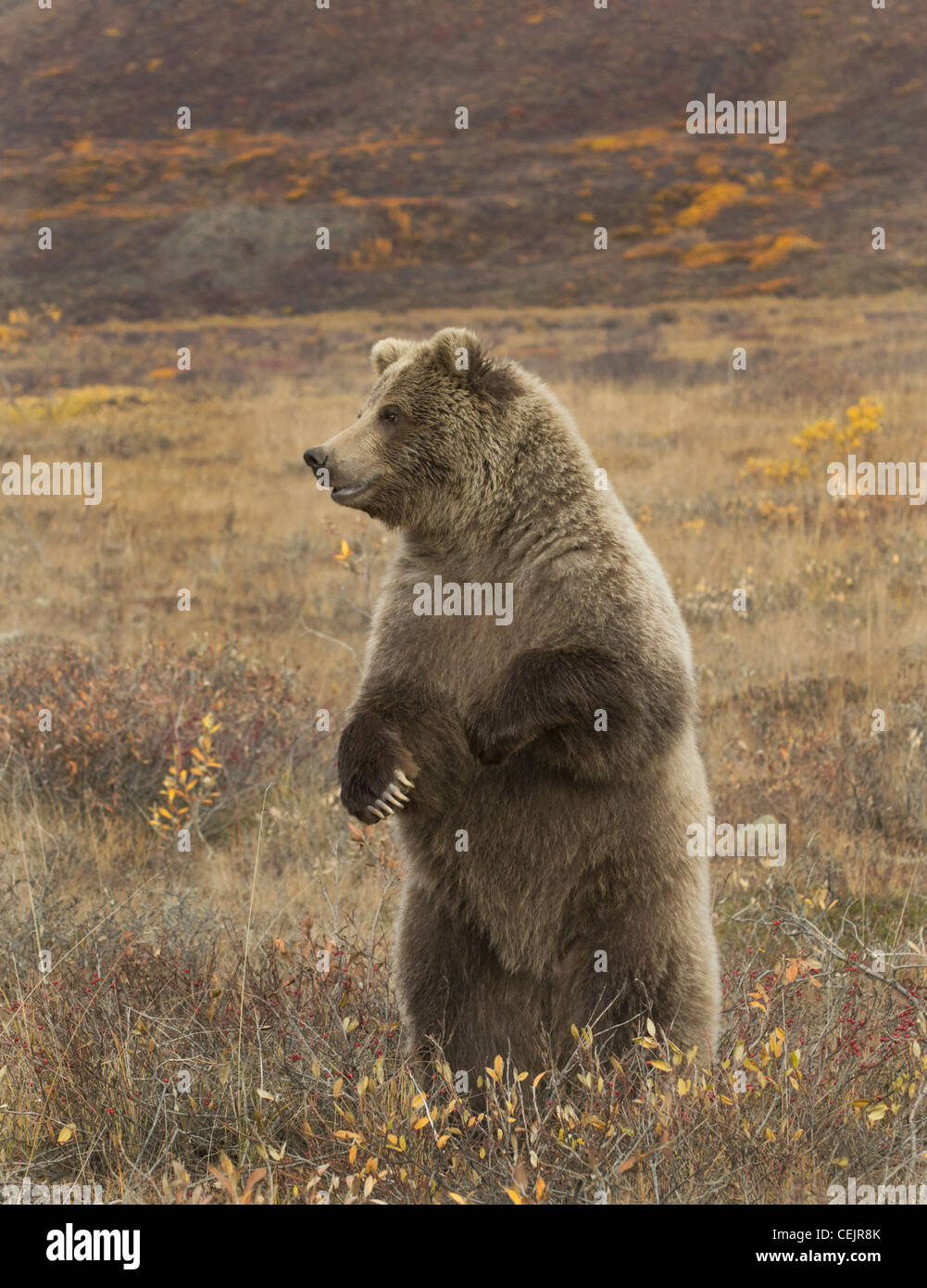 This Grizzly Bear is standing up for a better look around while their sense of smell is acute their vision is lacking - Stock Image