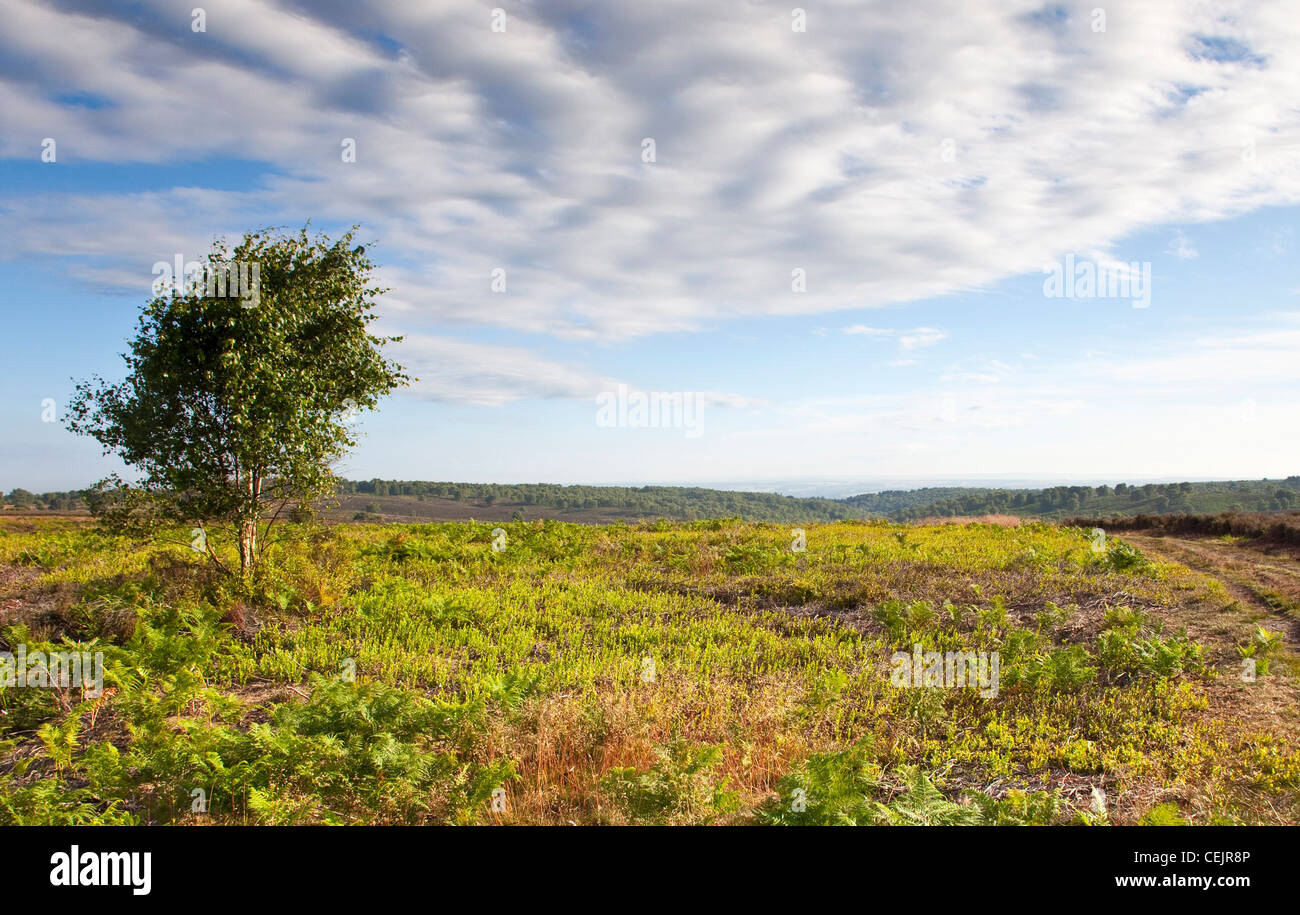 Lone Birch tree on Heathland in summer Cannock Chase Country Park AONB (area of outstanding natural beauty) in July - Stock Image