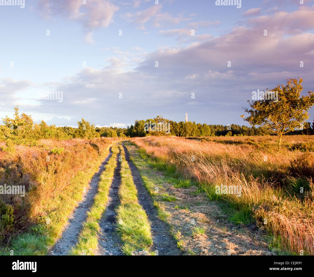 Paths through warm toned grassland in summer on Cannock Chase Country Park AONB (area of outstanding natural beauty) - Stock Image