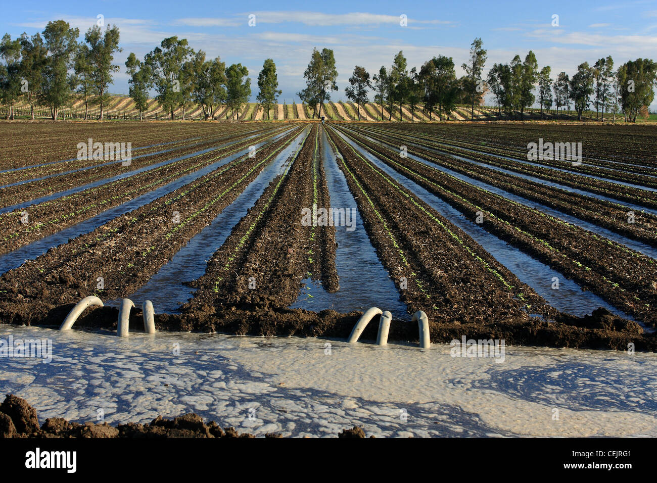 Field of seedling sunflowers being furrow irrigated. Siphon tubes transfer water from the irrigation ditch to the - Stock Image