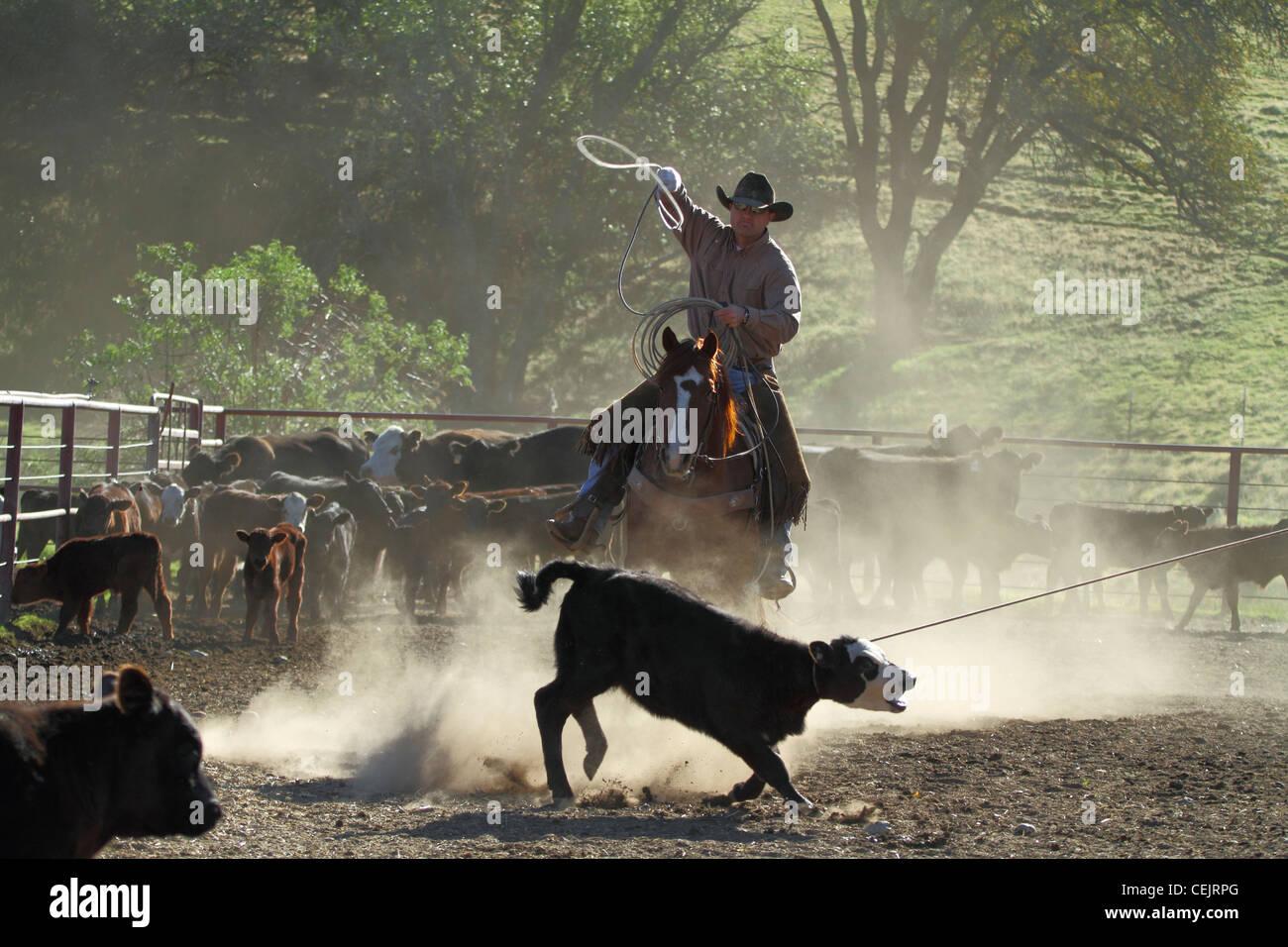 Cowboy Roping Horse Stock Photos Amp Cowboy Roping Horse