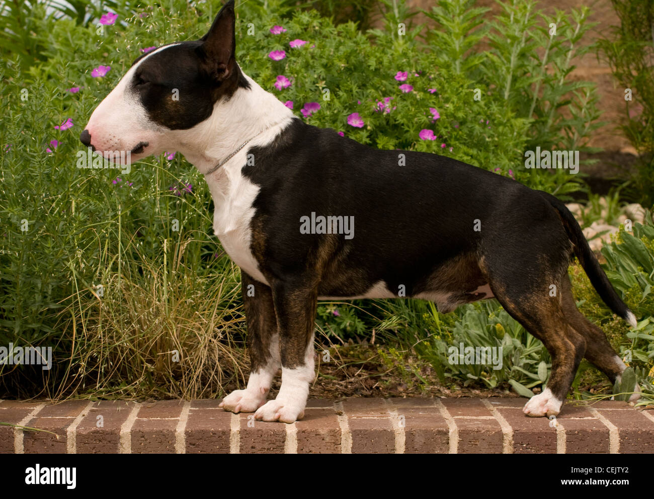 Miniature bull terrier on brick wall with flowers behind - Stock Image